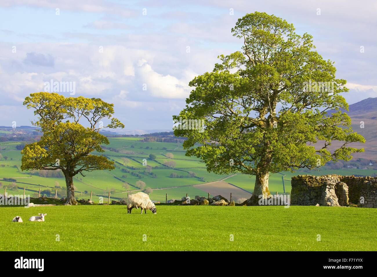 The Lake District National Park. Tree with spring leaves and sheep with lambs in field by dry stone wall. Warnell - Stock Image