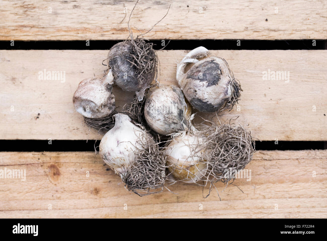 Allium nigrum bulbs. Stock Photo