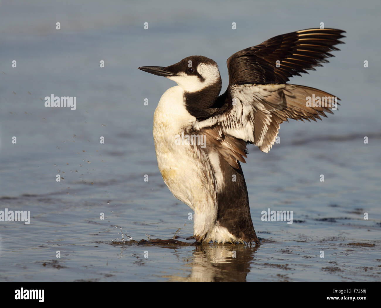 A Common Murre throwing out its wings. - Stock Image