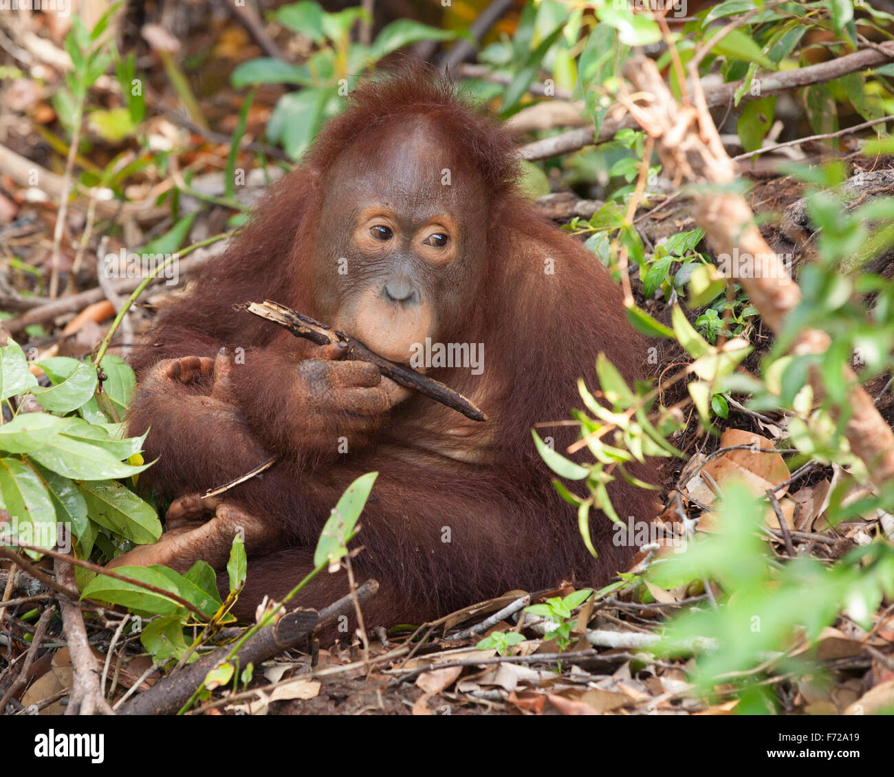Bornean Orangutan (Pongo pygmaeus) chewing on branch while sitting in forest - Stock Image