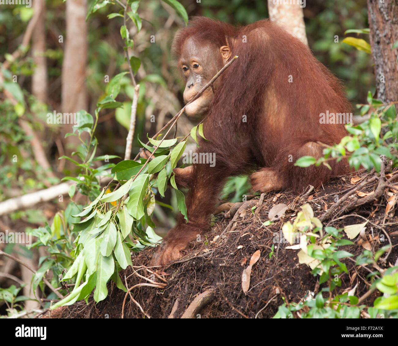 Bornean Orangutan (Pongo pygmaeus) holding leafy branch  in mouth - Stock Image