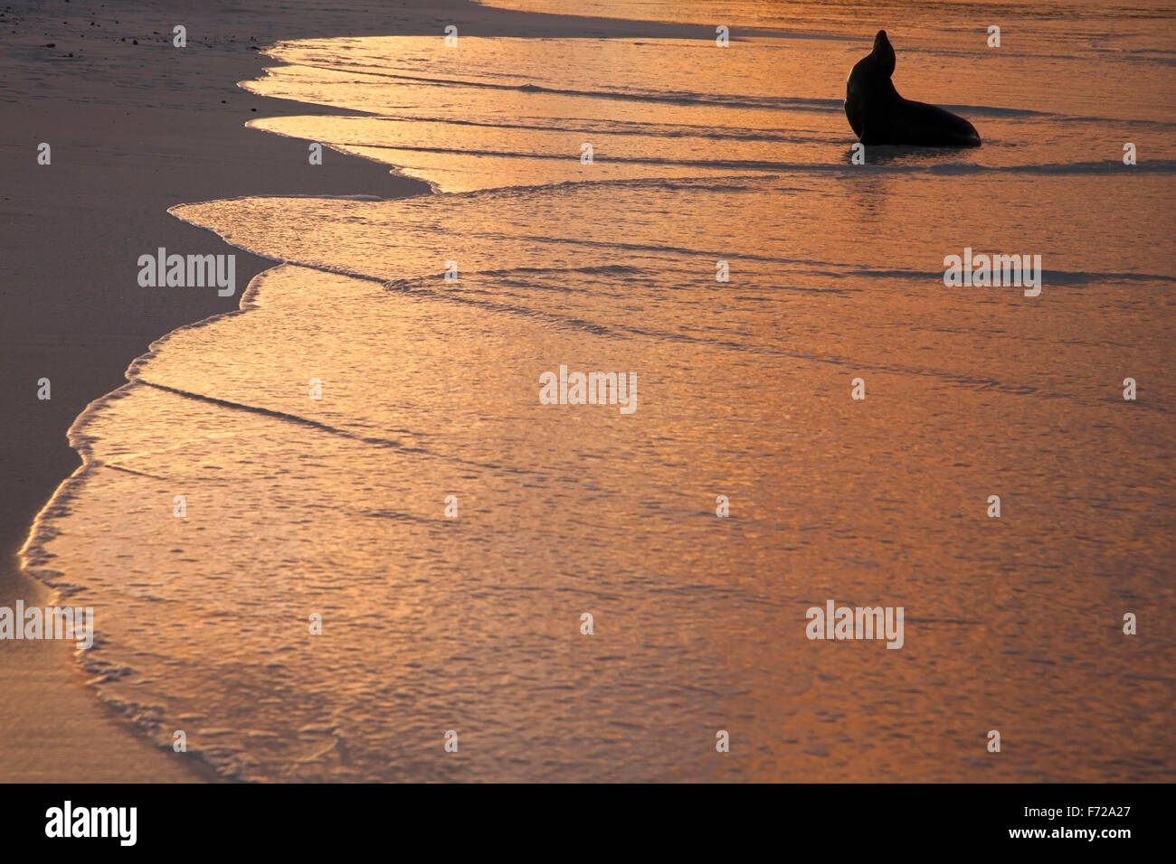 Galapagos Sea Lion (Zalophus wollebaeki) on the beach at twilight - Stock Image