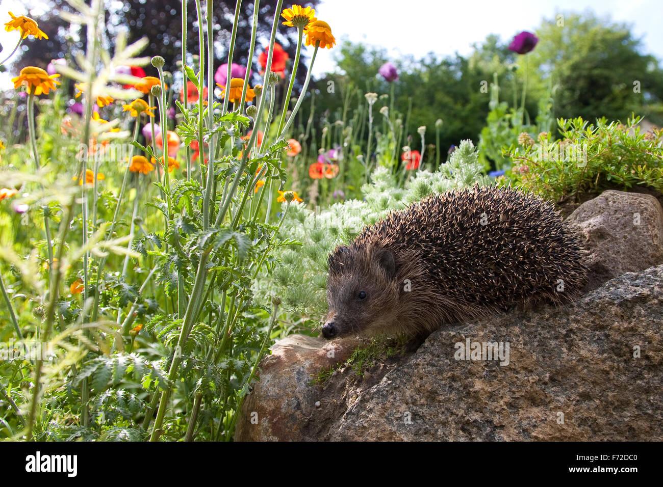 Western hedgehog, European hedgehog, garden, Europäischer Igel, Garten, Westigel, Braunbrustigel, Erinaceus - Stock Image