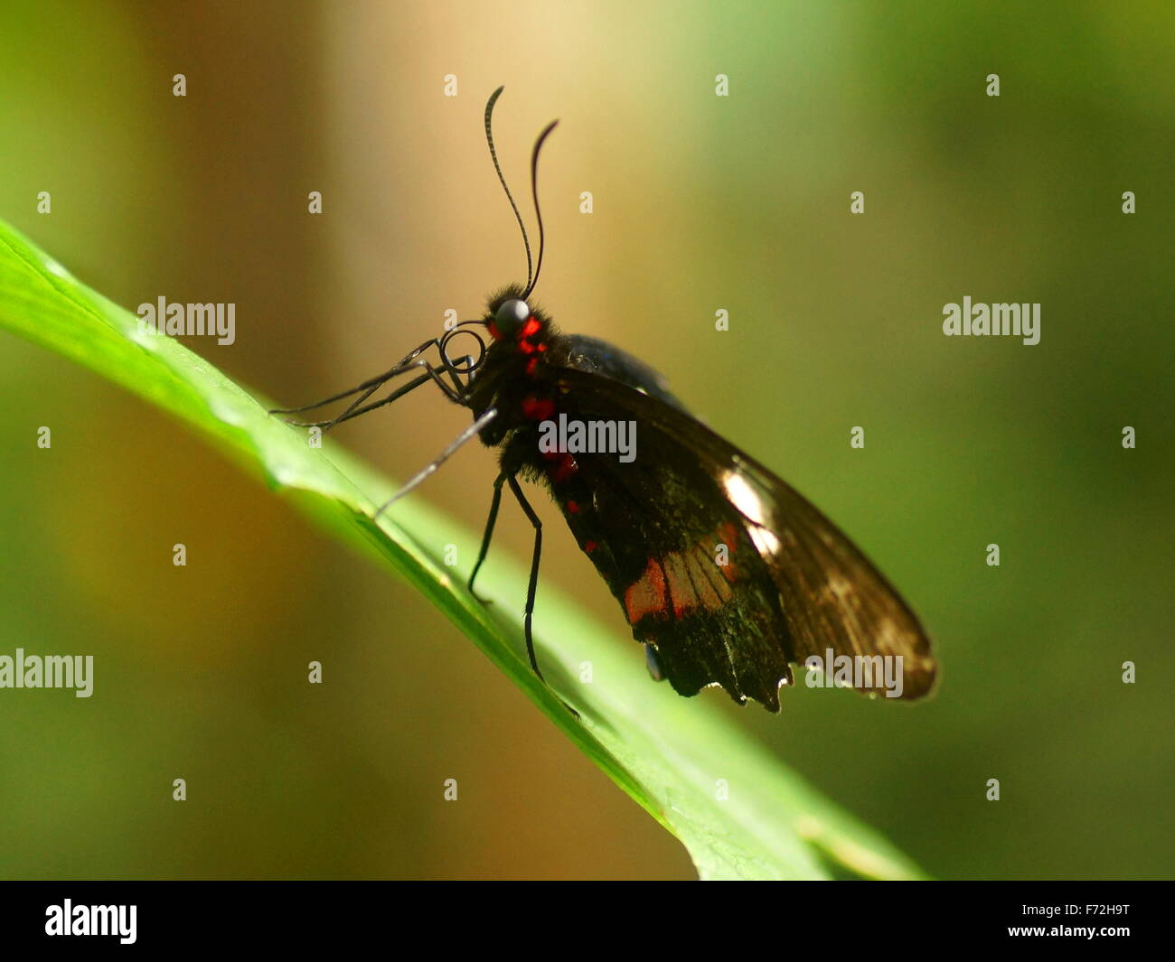 Butterfly. Side view. Papilionidae,  Eurytides branchus. Costa Rica, Puntarenas, Monteverde Cloud Forest Reserve. - Stock Image