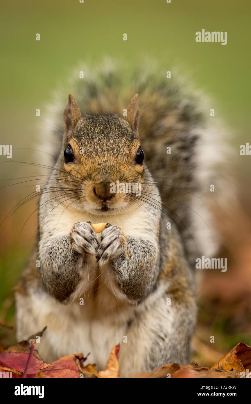Grey Squirrel (Sciurus carolinensis) in autumn leaves - Stock Image