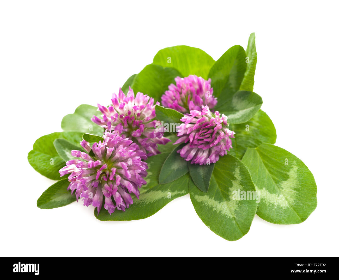 Red clover isolated on white Stock Photo