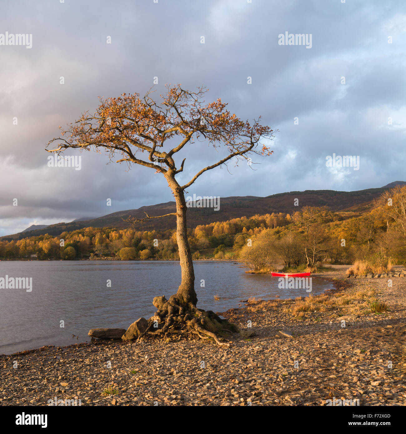 Loch Lomond in Autumn - lone oak tree and red canoe illuminated by evening sun - Milarrochy Bay, Loch Lomond, Scotland, - Stock Image