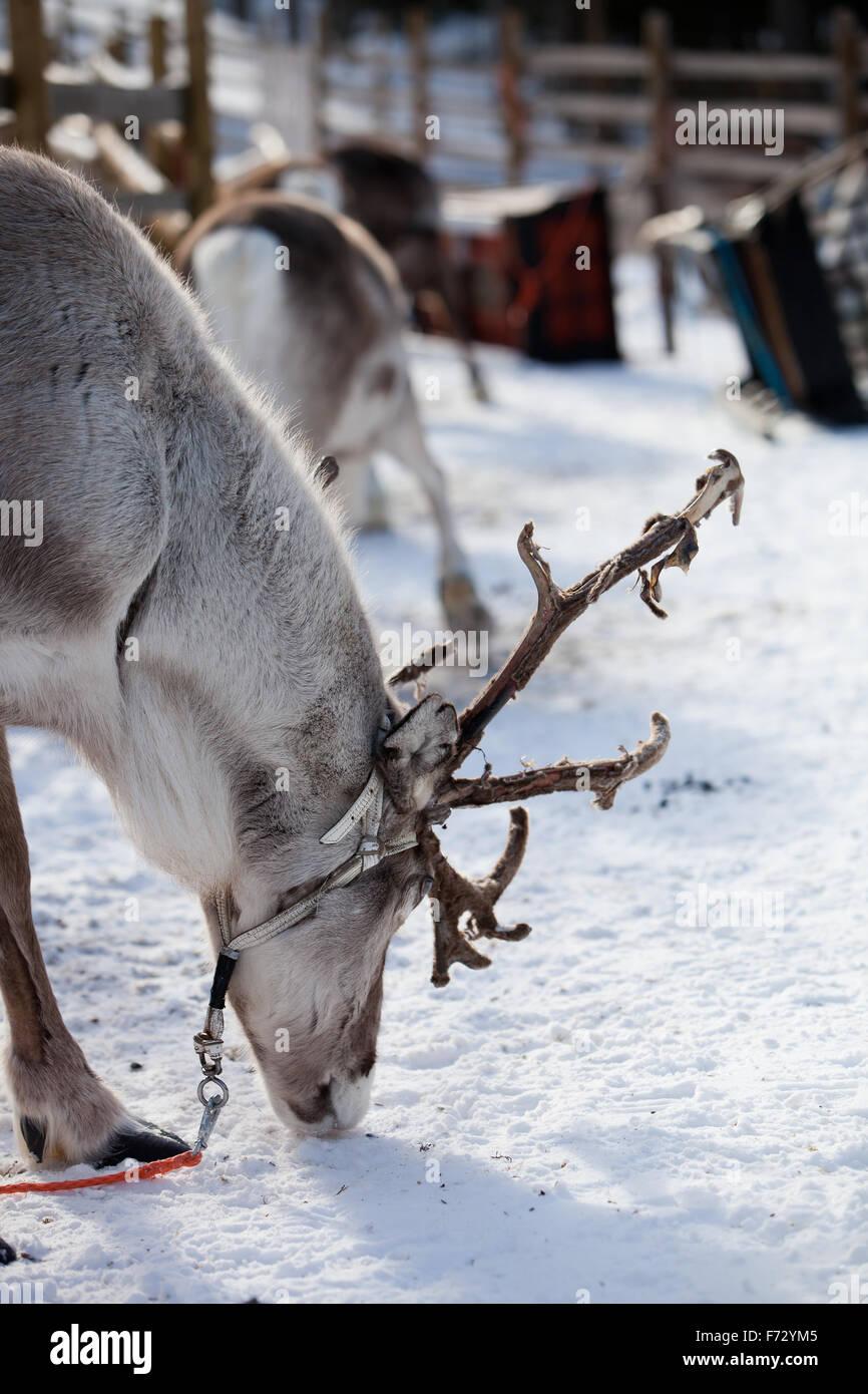 Reindeer eating in Finnish lapland Stock Photo