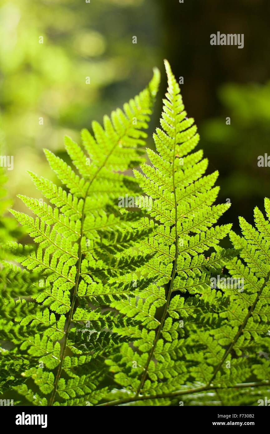 Close up of ferns backlit by the sun - Stock Image