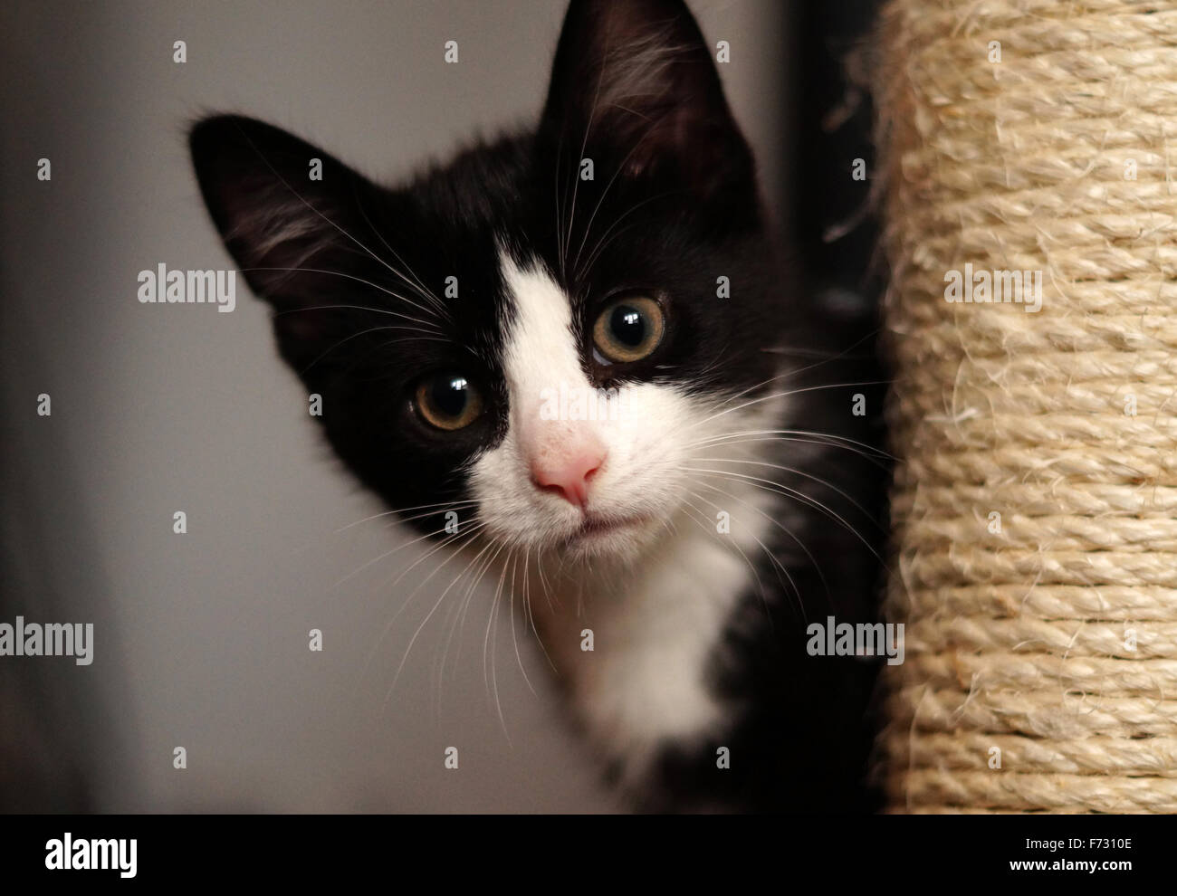 Black and White Cute Fluffy Kitten with Green Eyes Looking at Camera from sctraching post - Stock Image