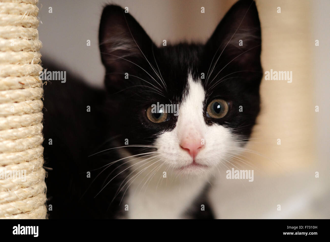 Black And White Cute Fluffy Kitten With Green Eyes Looking At Camera Stock Photo Alamy