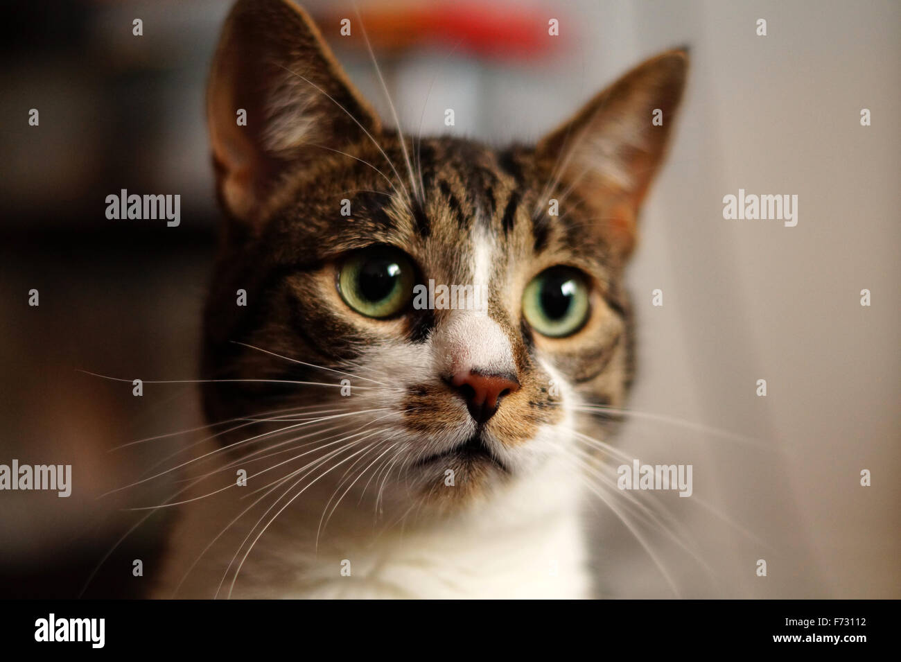 Beautiful House Cat - Stock Image