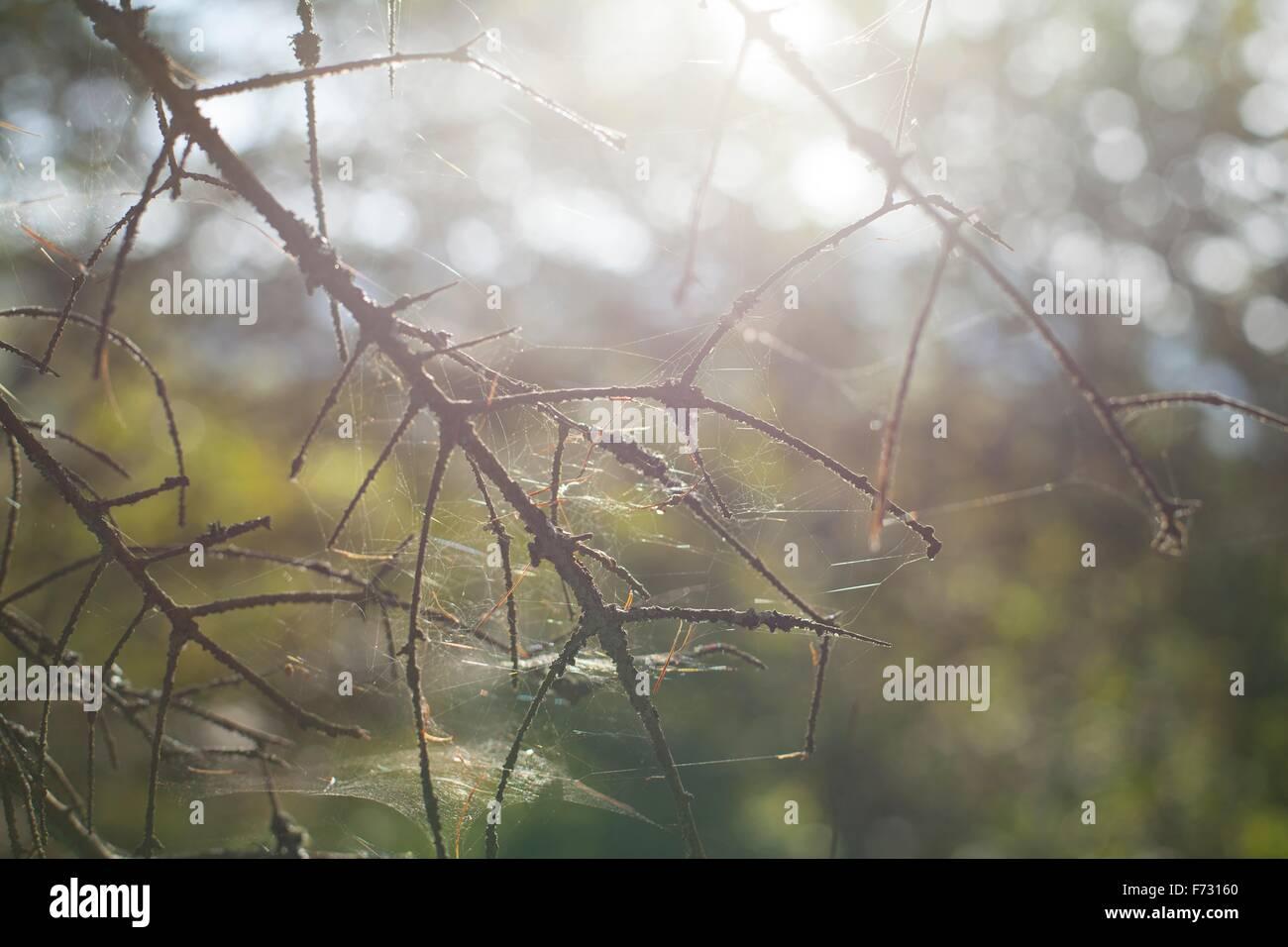Spider webs on brances - Stock Image