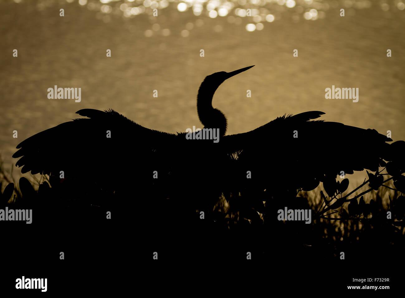 An anhinga silhouette - Stock Image