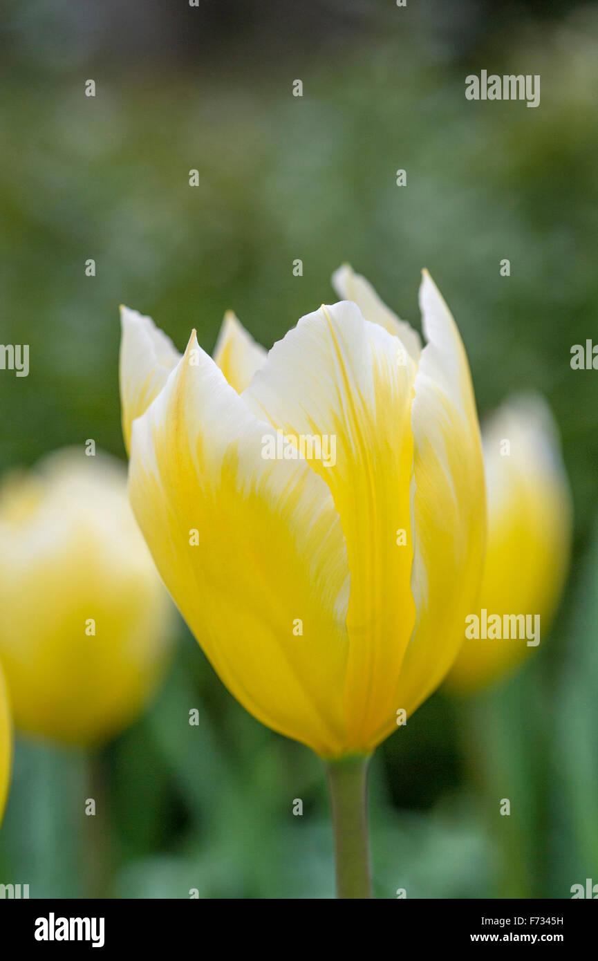 Tulipa 'Candela' - Stock Image