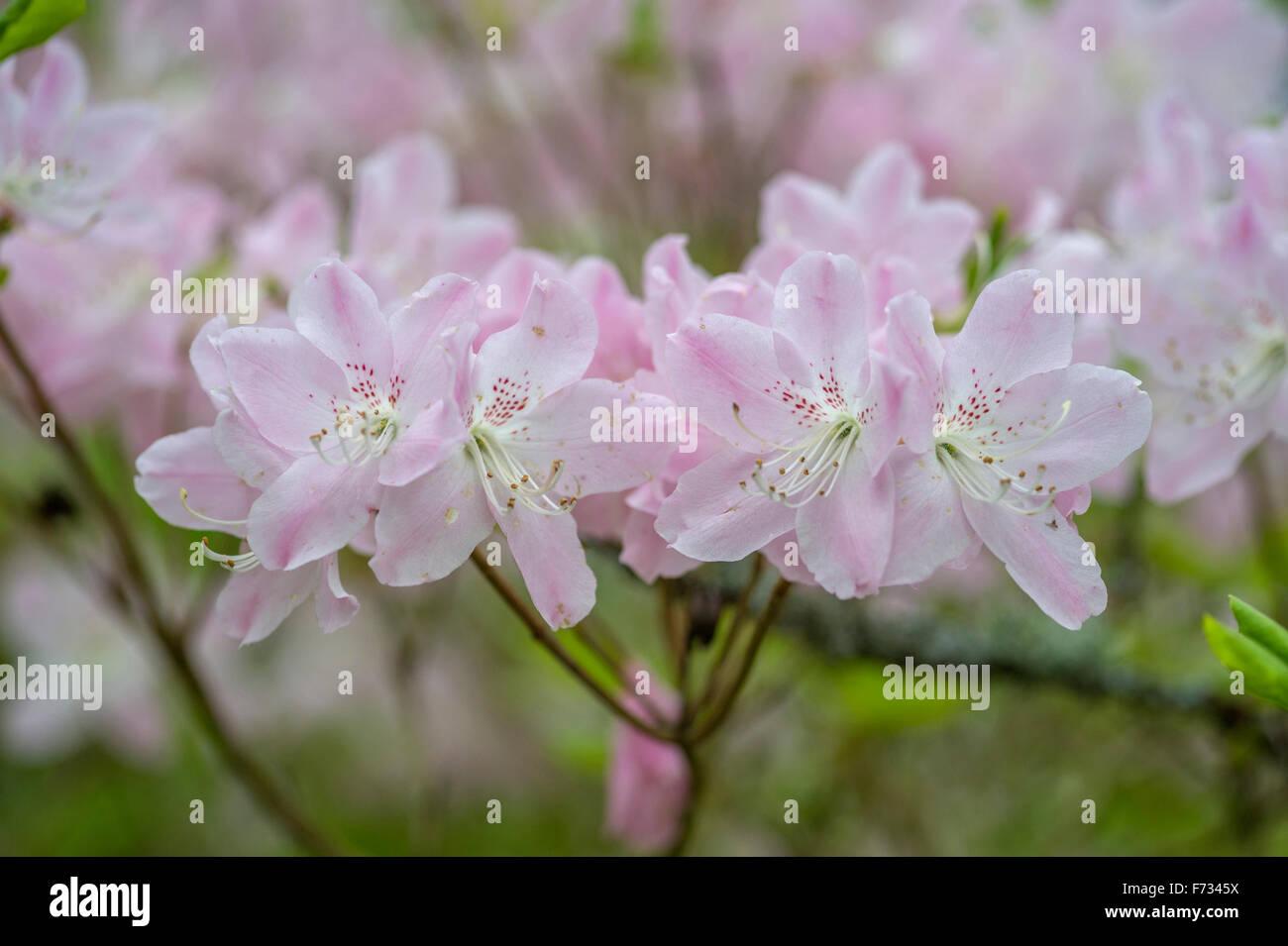 Rhododendron schlippenbachii Stock Photo
