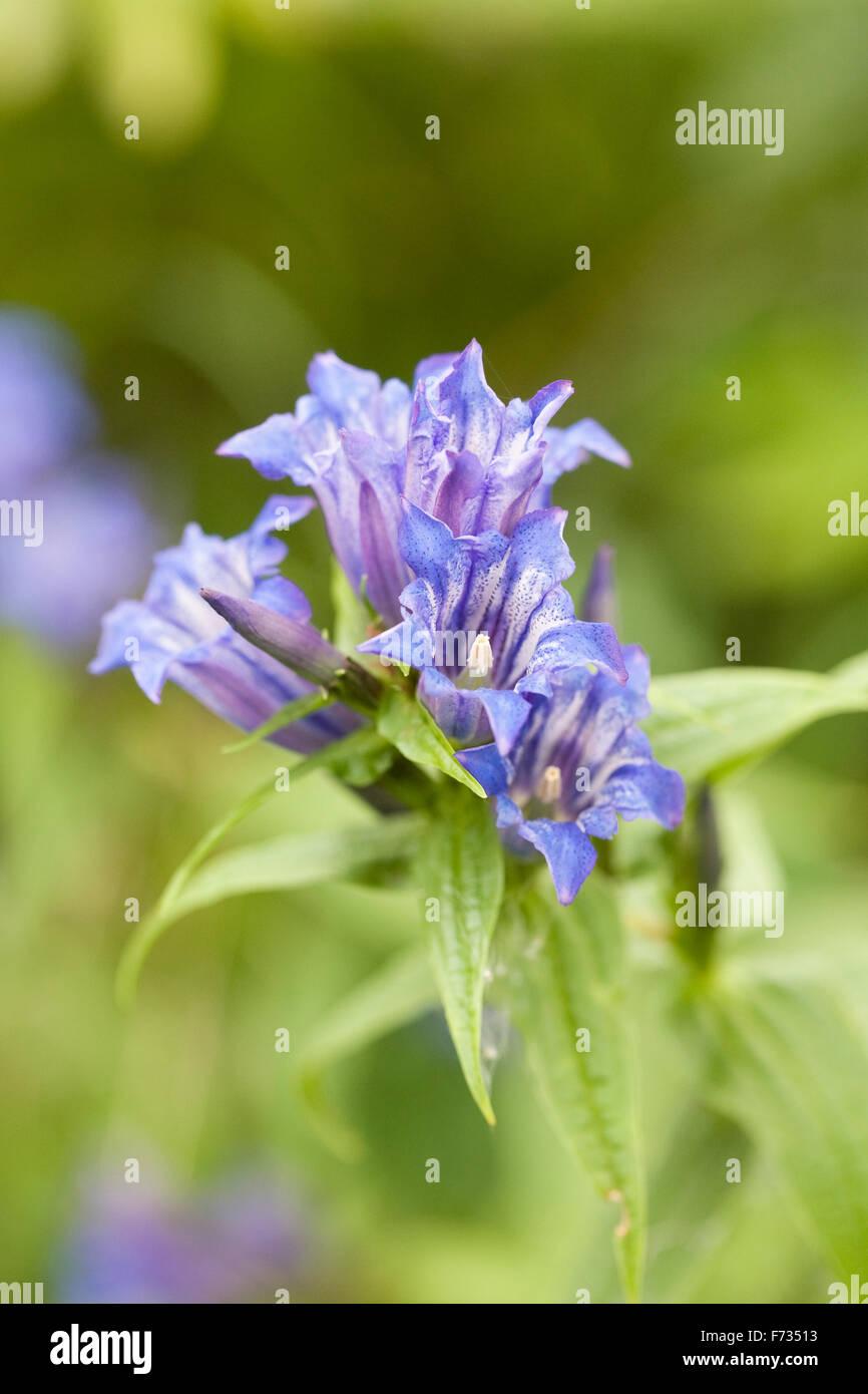 Gentiana asclepiadea. Willow gentian flower. - Stock Image