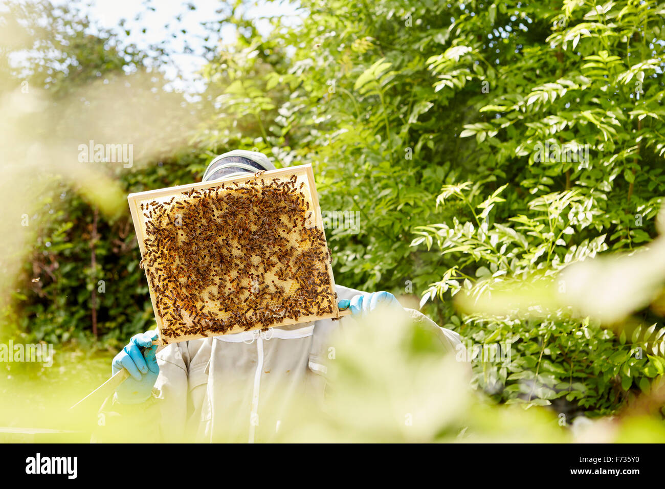 A beekeeper holding up and checking a honeycomb frame from a beehive. - Stock Image