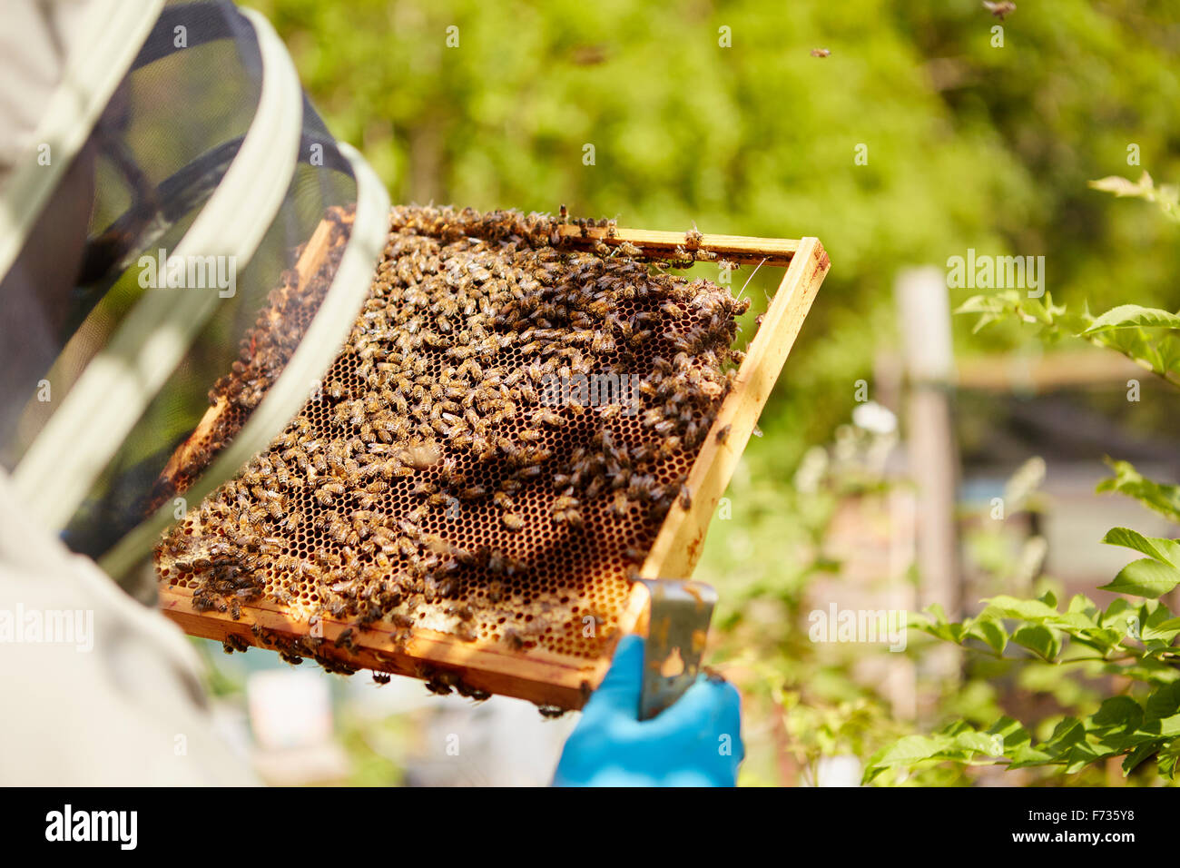 A beekeeper in a suit, with his face covered, holding a honeycomb frame covered in bees. - Stock Image