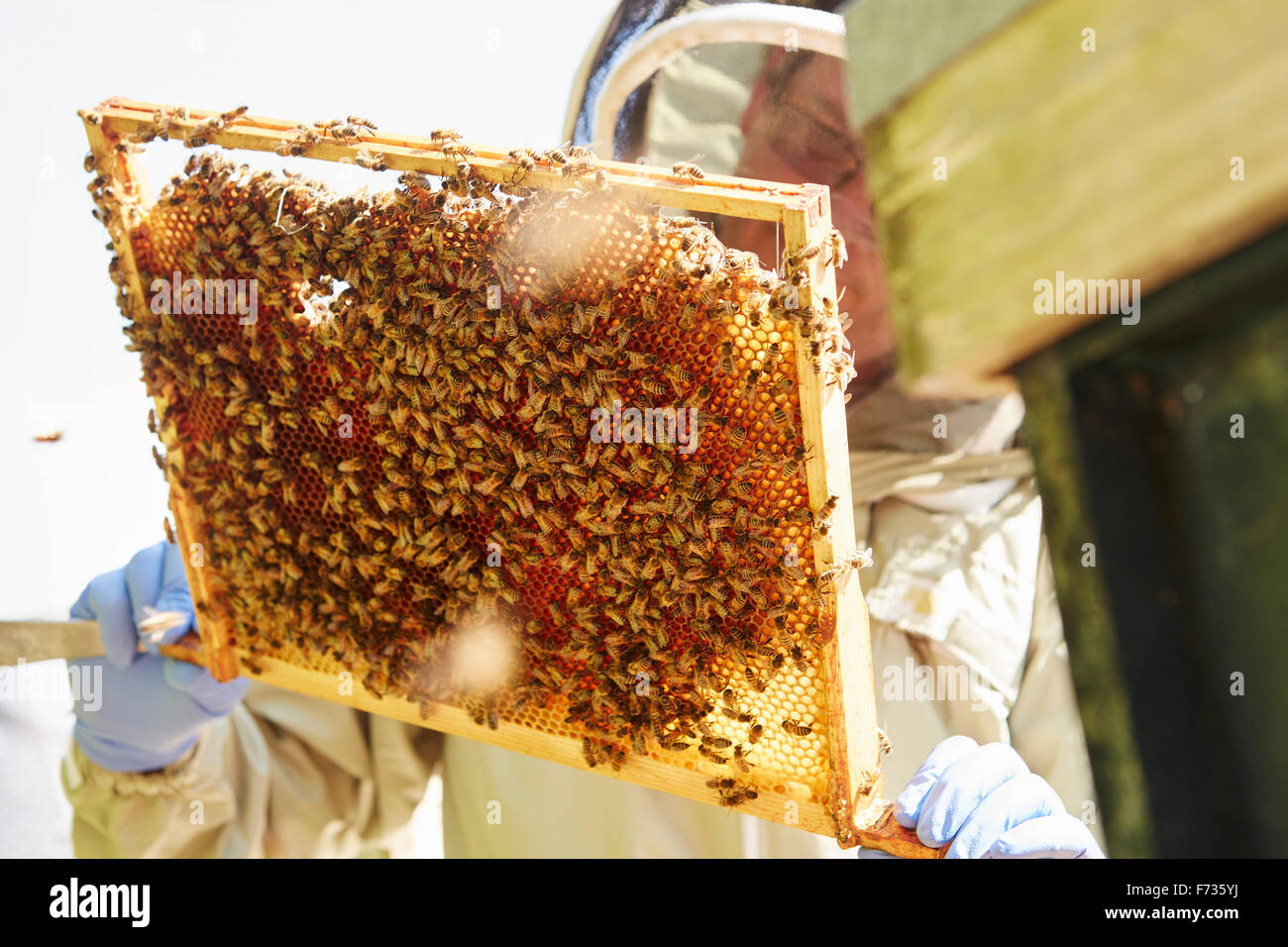 A beekeeper holding up a super frame with worker bees loading the cells in honey. - Stock Image