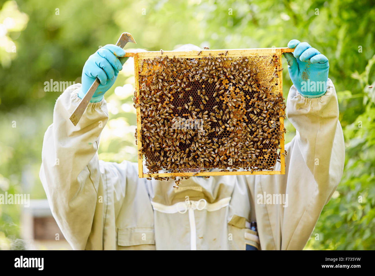 A beekeeper with blue gloves holding up a super or frame full of honey covered in bees. - Stock Image