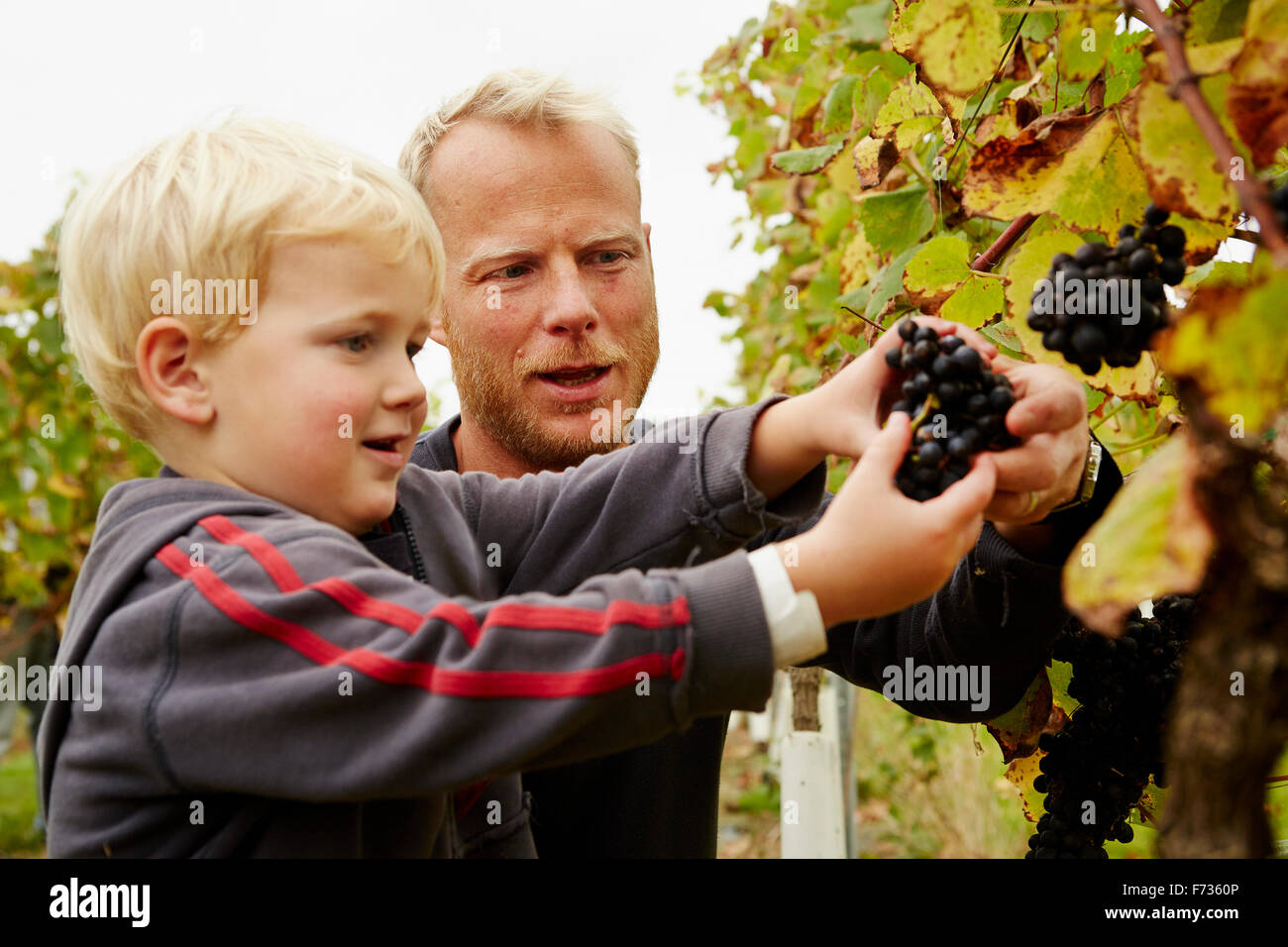 A man and his son selecting bunches of red ripe grapes on the vine. - Stock Image