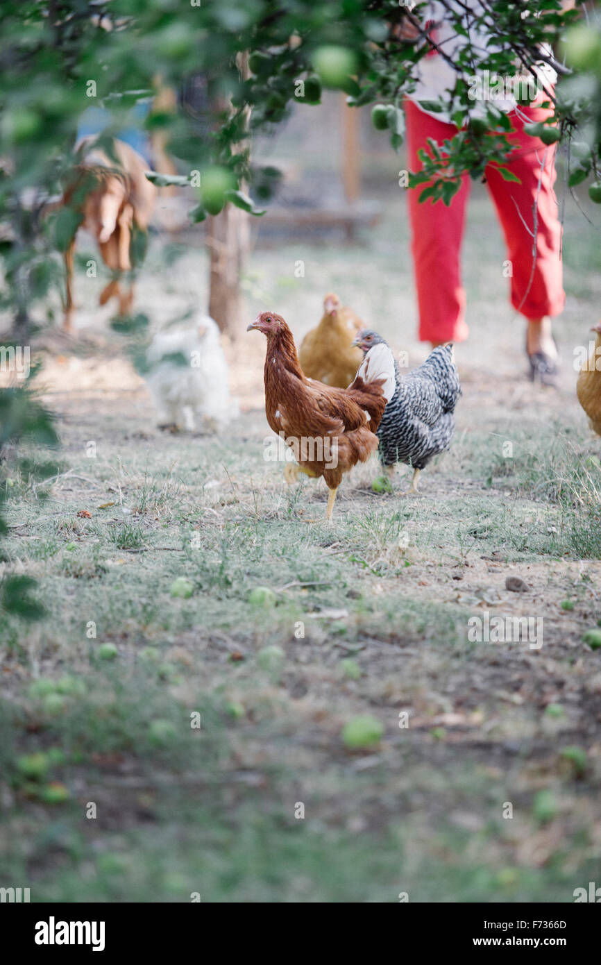 Chickens standing on a lawn underneath a tree, a woman and dog in the background. - Stock Image