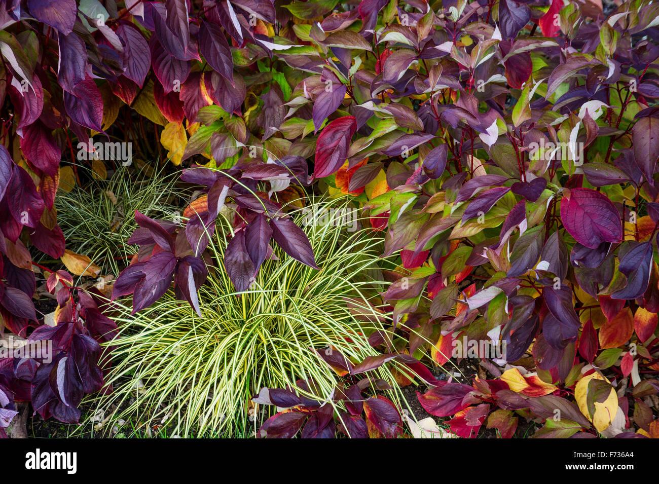 Cornus alba 'Baton Rouge' and Carex Oshimensis ' Evergold' - Stock Image