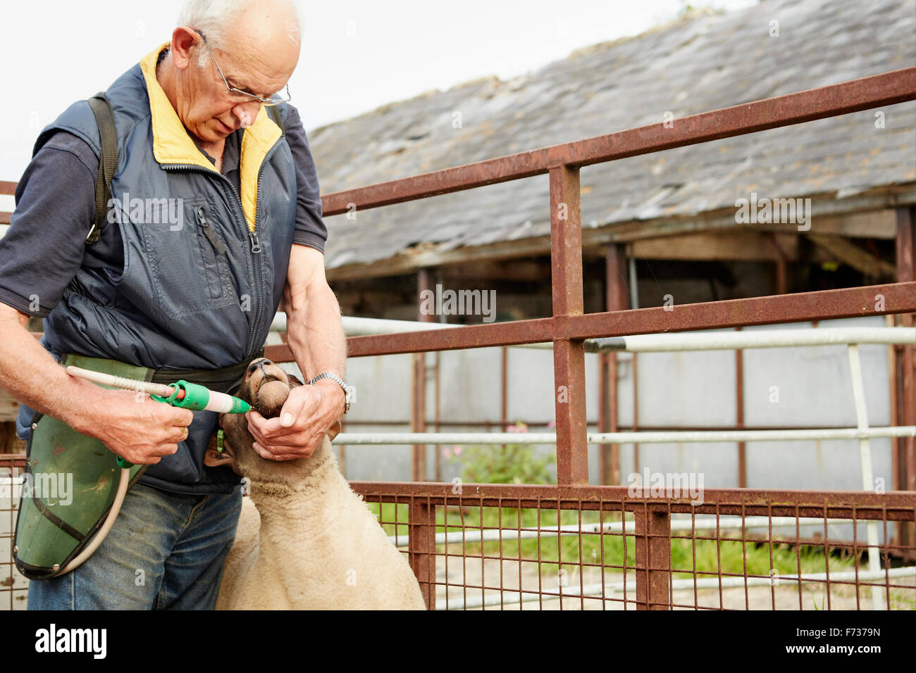 A farmer in overalls holding a sheep and delivering a treatment in his mouth with a trigger dispenser. - Stock Image