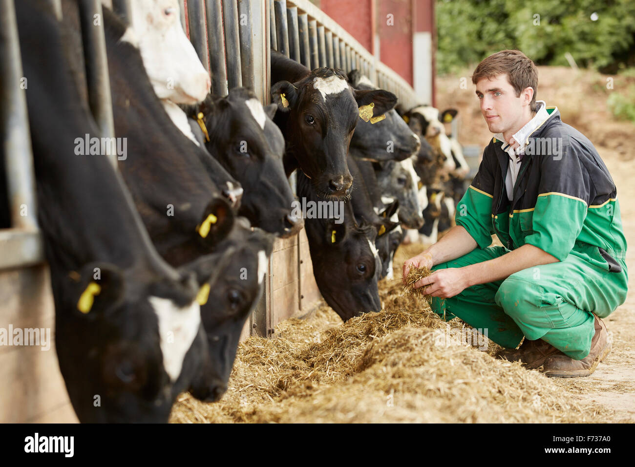 A farmer, stockman with a group of cows grazing on hay, leaning their heads through a metal barrier. - Stock Image