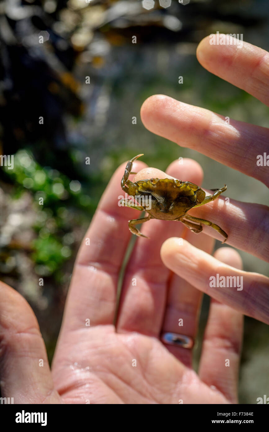 A pair of hands holding a crab whilst rock pooling in East Sussex UK. - Stock Image