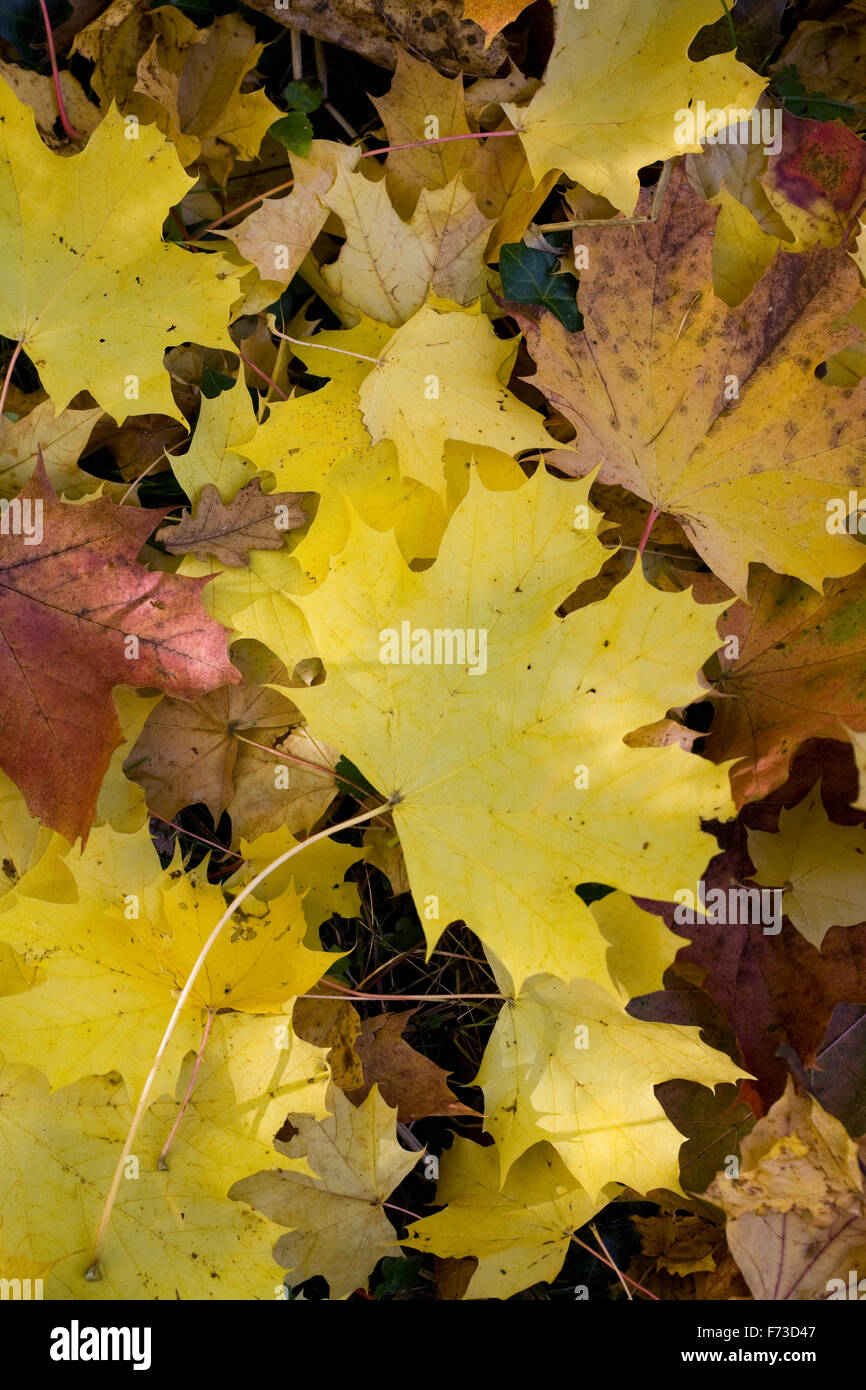 Acer platanoides leaves in Autumn. Stock Photo