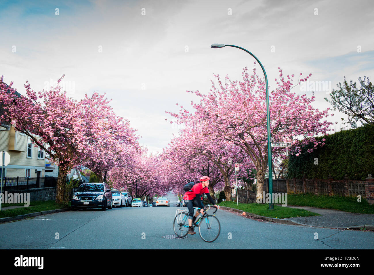 VANCOUVER, BRITISH COLUMBIA, CANADA. A bike commuter in red rides down a residential street with cherry blossoms - Stock Image