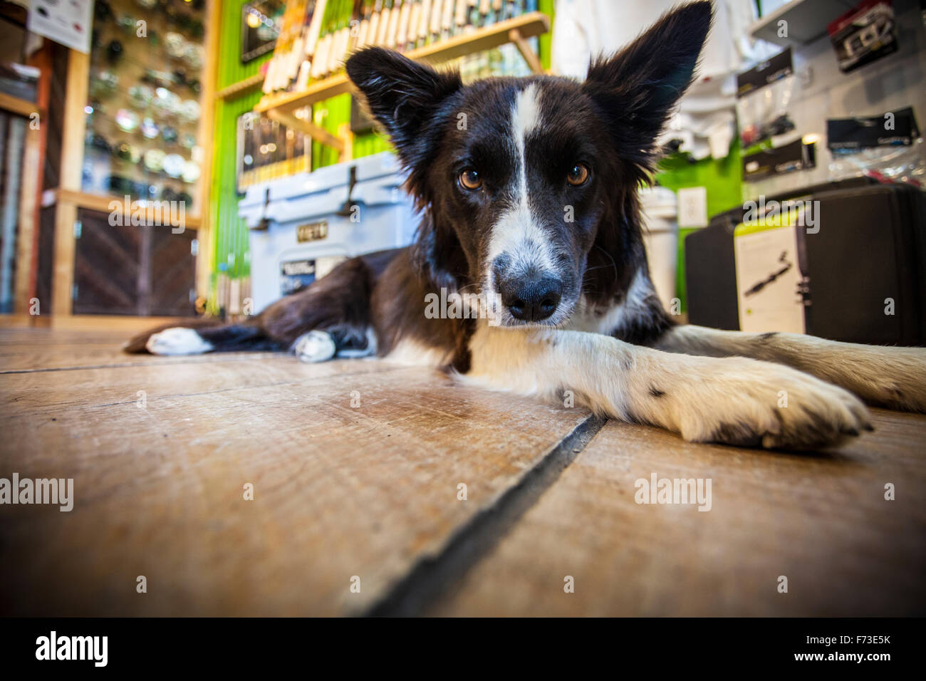 Marley the Border Collie shop dog on a wooden floor in a fly shop. - Stock Image