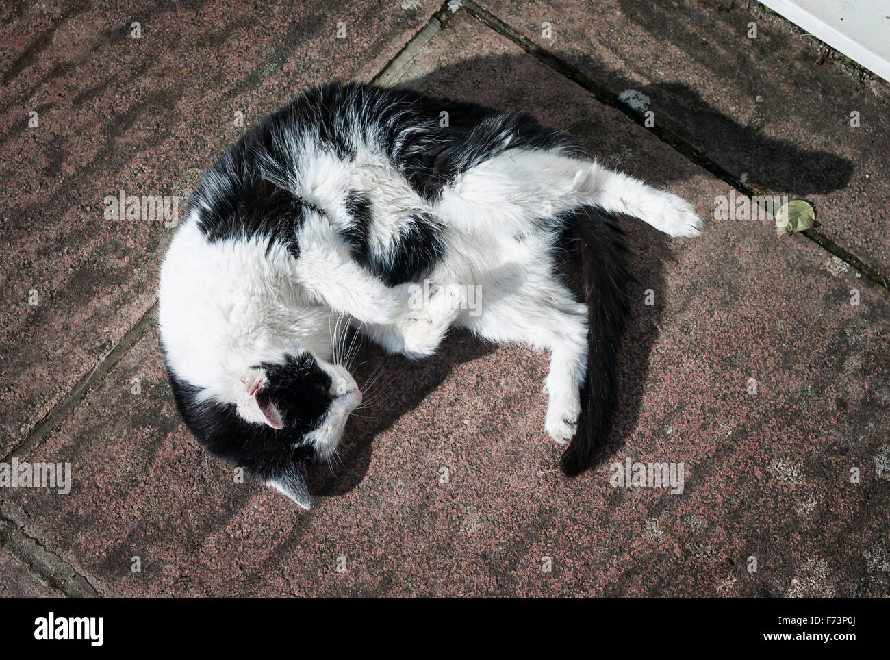 Black and white cat asleep on patio slabs in sunshine - Stock Image