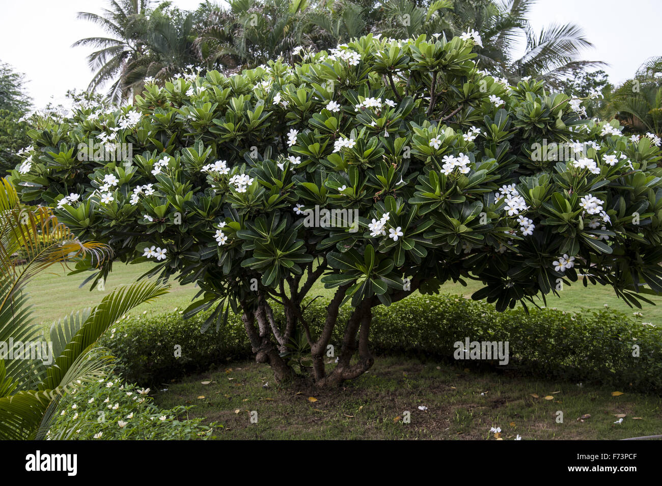 Champa Flower Tree Stock Photos Champa Flower Tree Stock Images