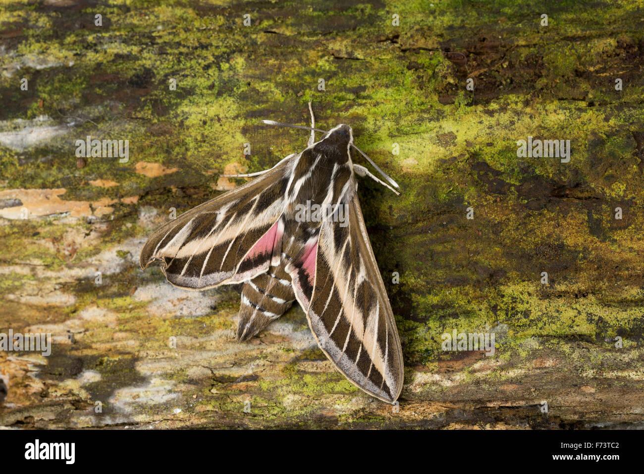Striped hawk-moth, hawkmoth, Linienschwärmer, Linien-Schwärmer, Hyles livornica, Celerio lineata, Le Sphinx - Stock Image