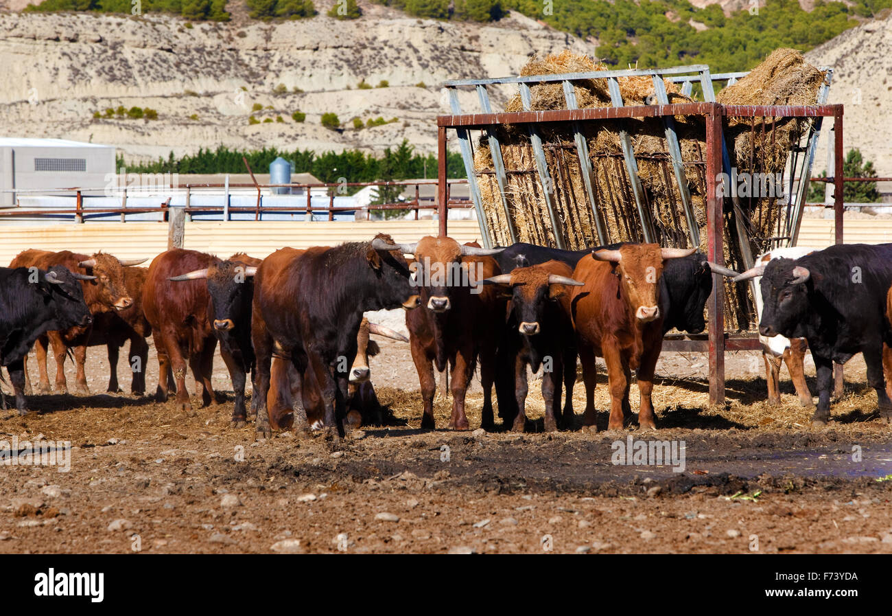 Detail of several bulls on a farm Stock Photo