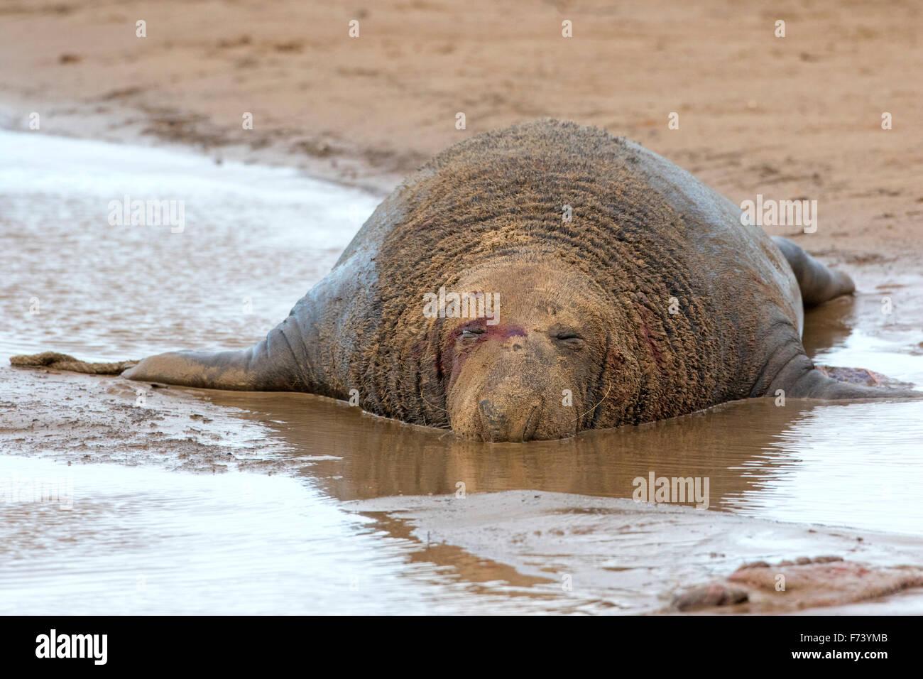 Grey seal  (Halichoerus grypus) Stock Photo
