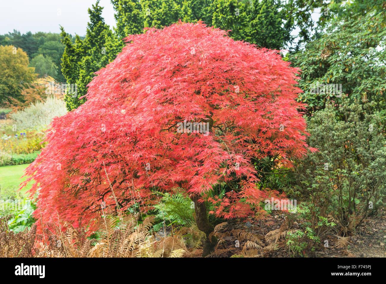 Acer Palmatum Dissectum Atropurpureum Japanese Maple Stock Photo