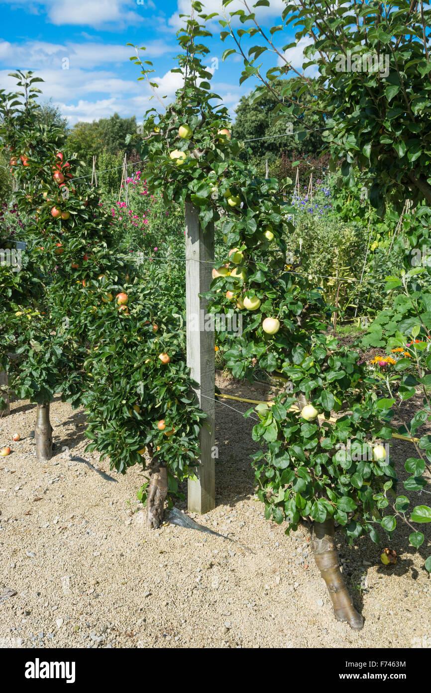 Fruit Tree Cordon Stock Photos Fruit Tree Cordon Stock Images