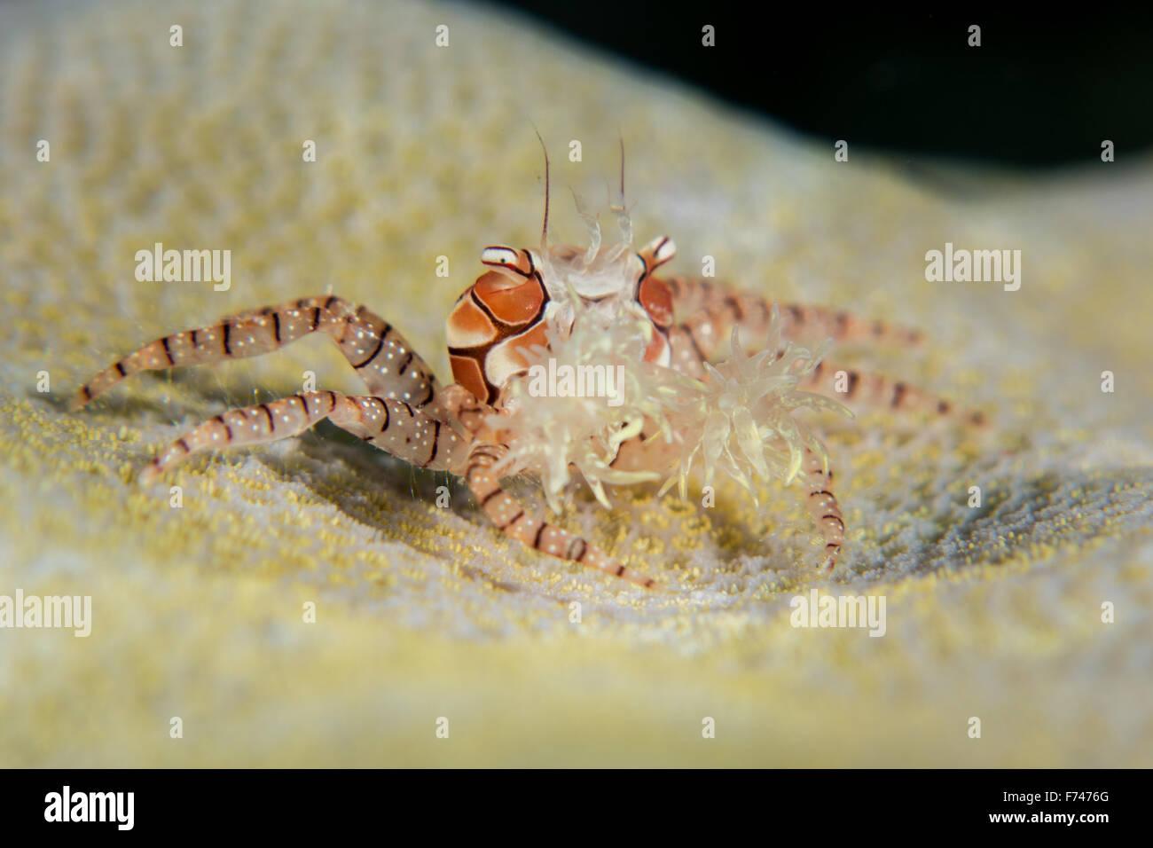 Boxer Crab or Pom Pom crab - Lybia edmondsoni. Taken in Komodo National Park, Indonesia. - Stock Image