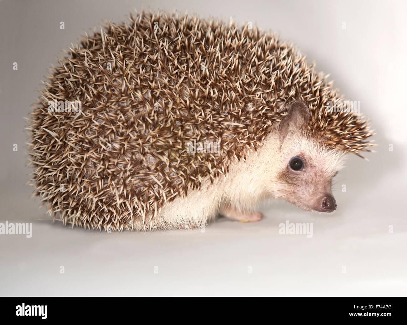 African Pygmy Hedgehog - Stock Image