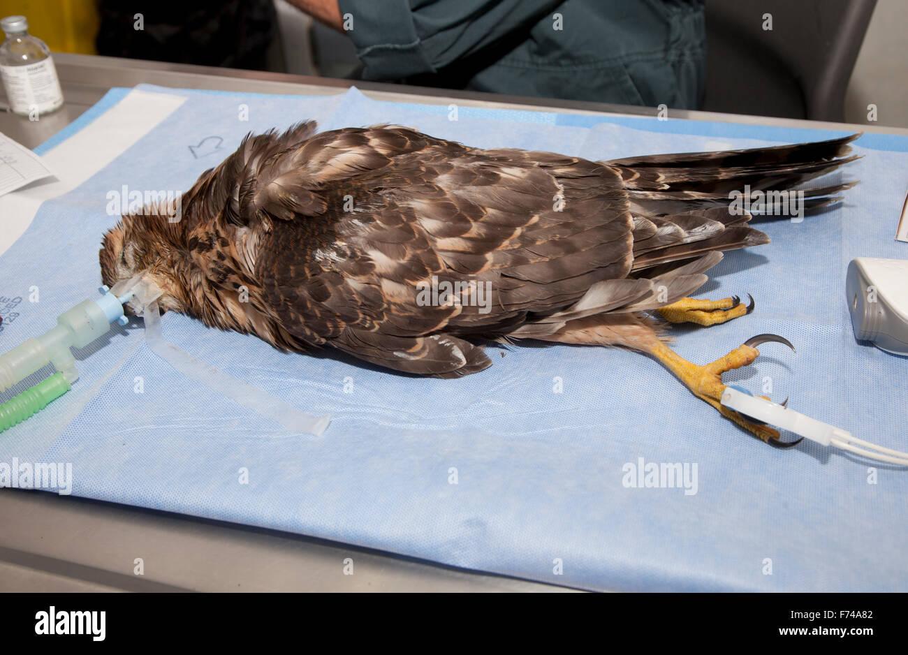 Goshawk Accipiter gentilis under anaesthetic - Stock Image