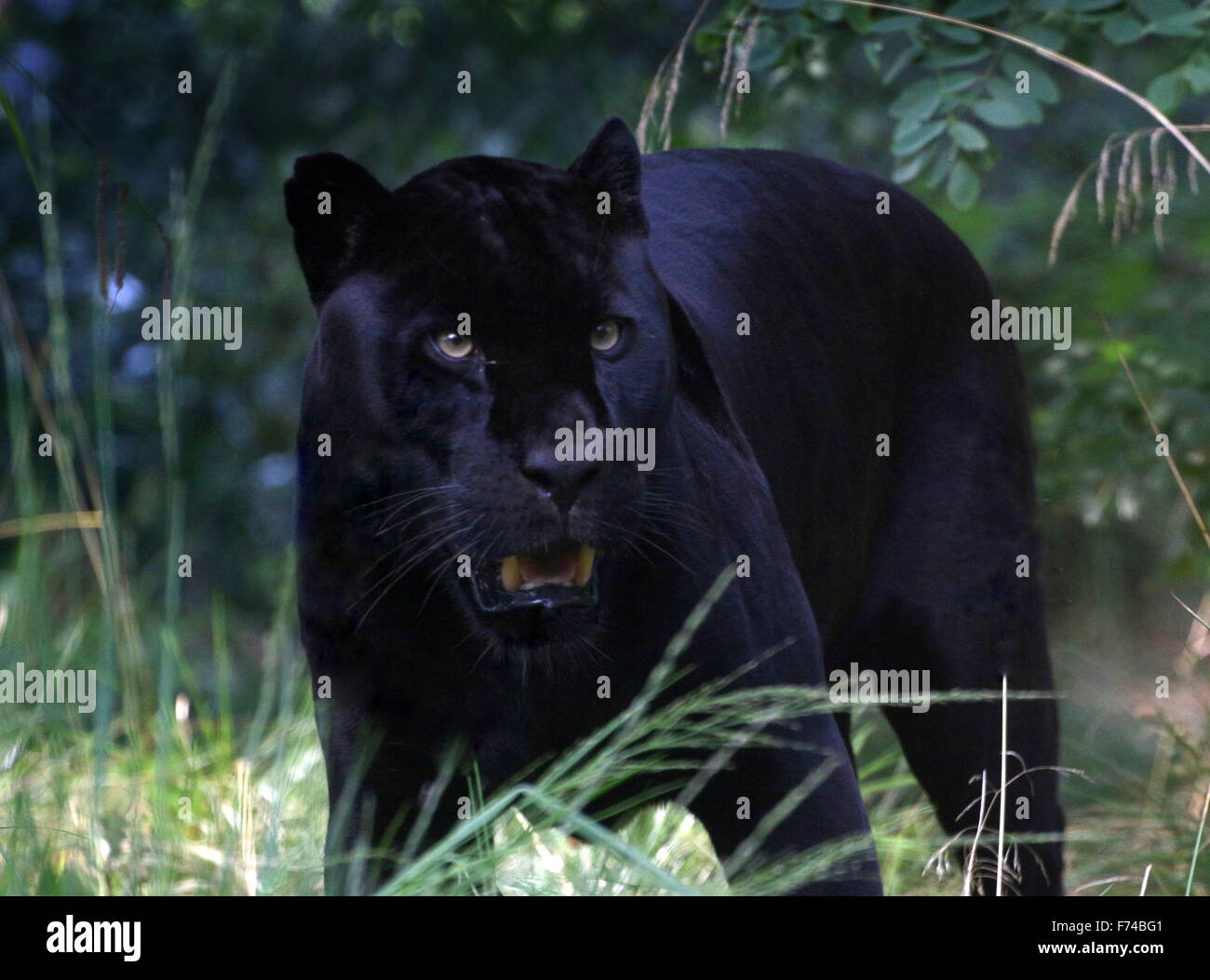 Male South American Black Jaguar (Panthera onca) on the prowl - Stock Image