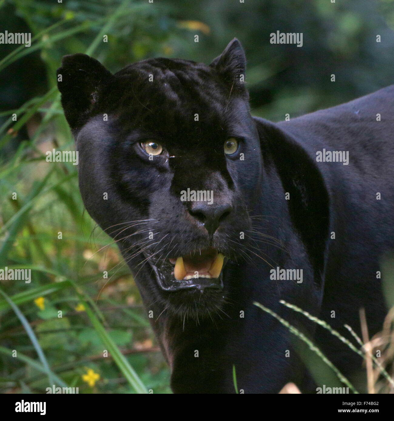 Close-up of the head of a male South American Black Jaguar (Panthera onca), facing camera - Stock Image