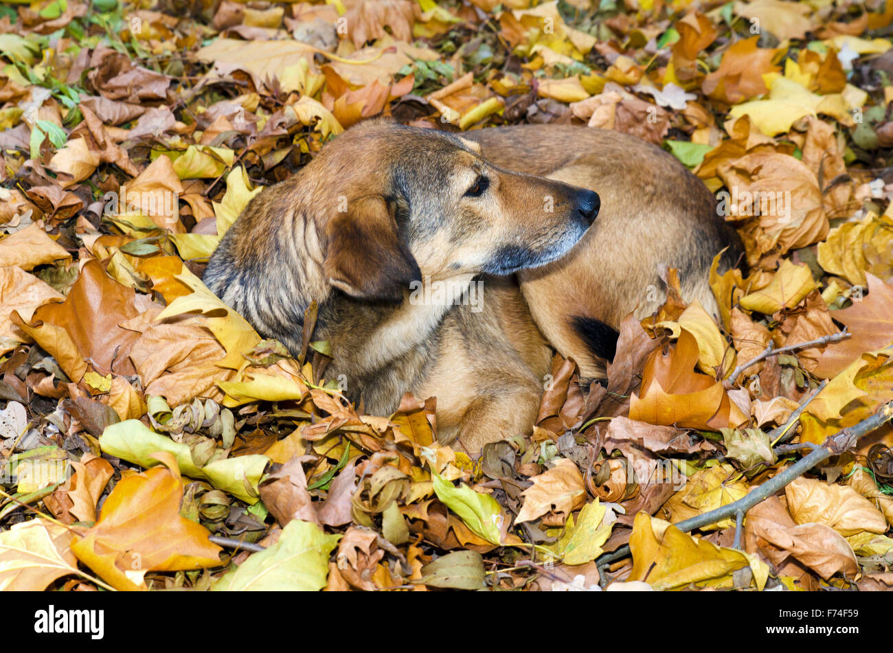 Homeless dog nestles in the autumn leaves in a park - Stock Image