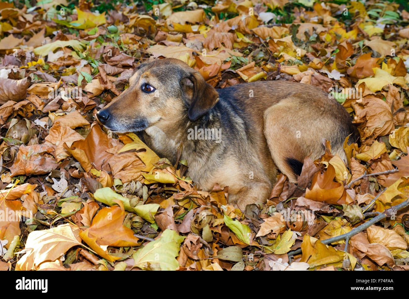 Abandoned dog nestles in the autumn leaves in a park - Stock Image
