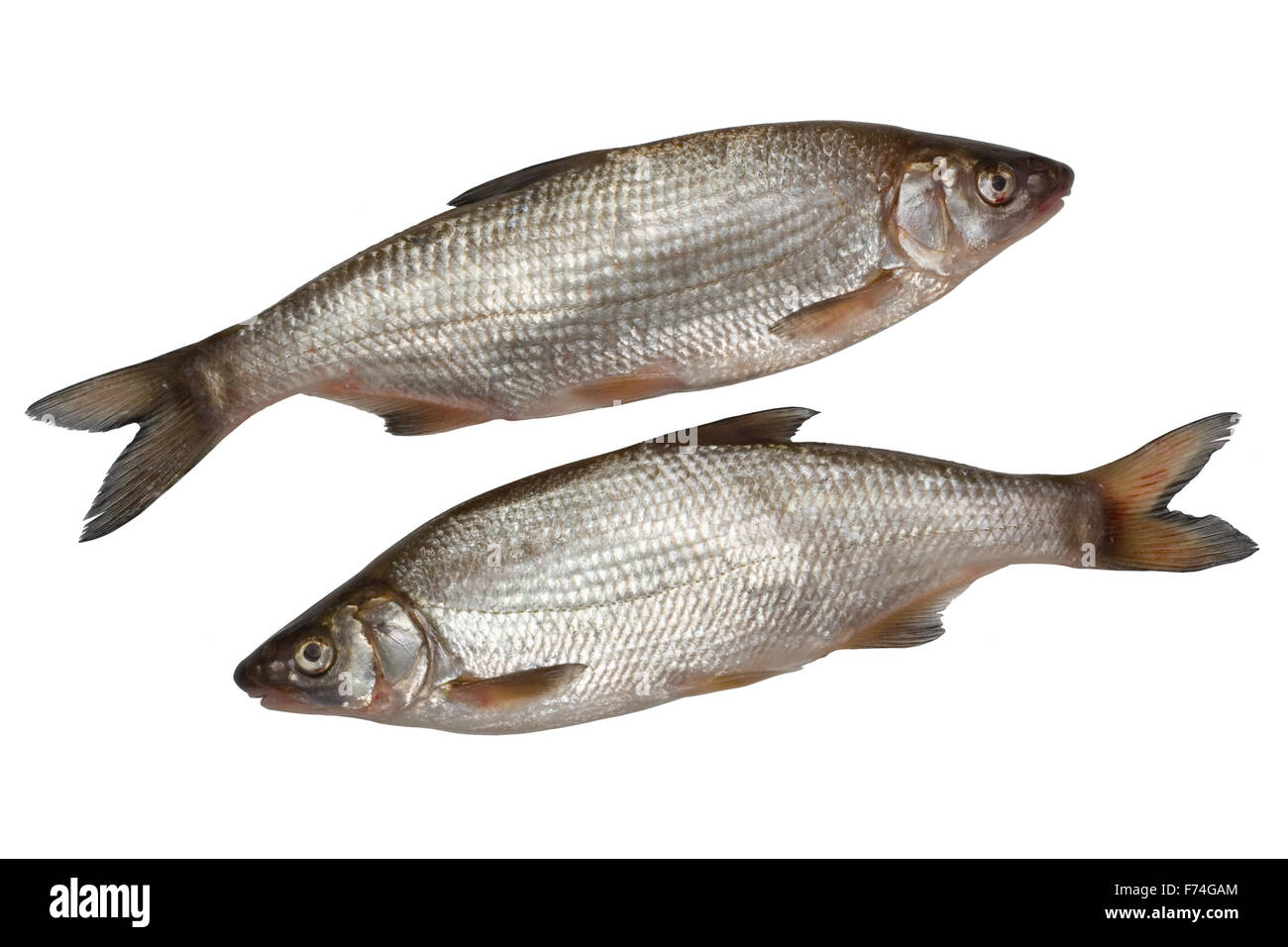 Two nase fishes Stock Photo
