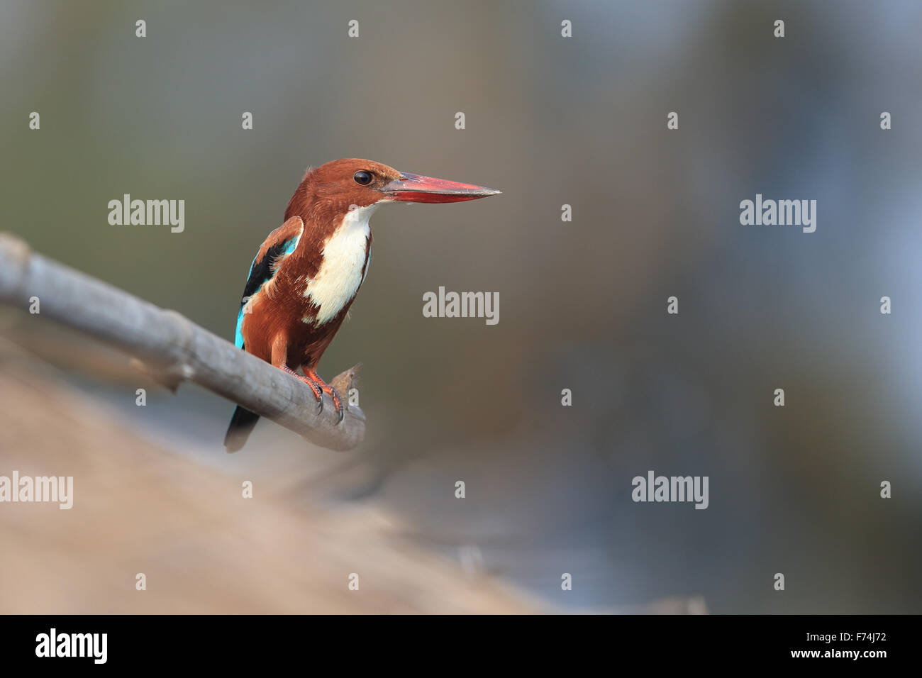 White-throated Kingfisher (Halcyon smyrnensis) - Stock Image
